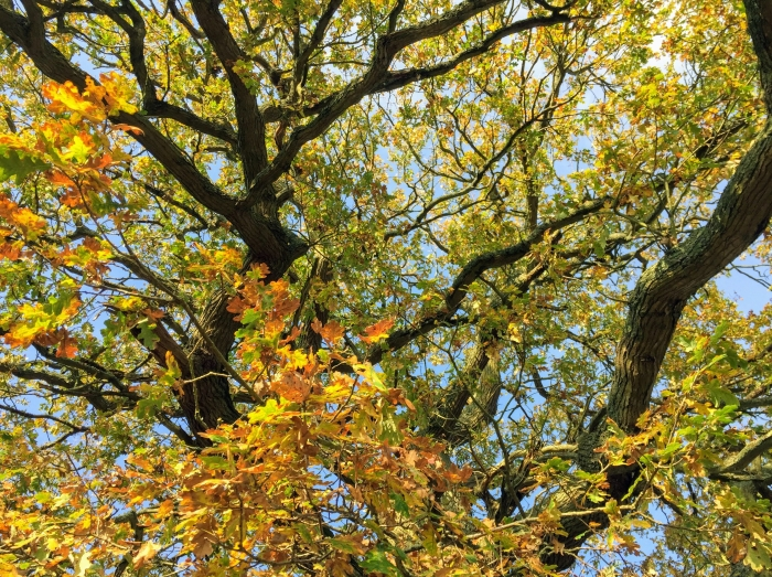 oak tree in autumn colours