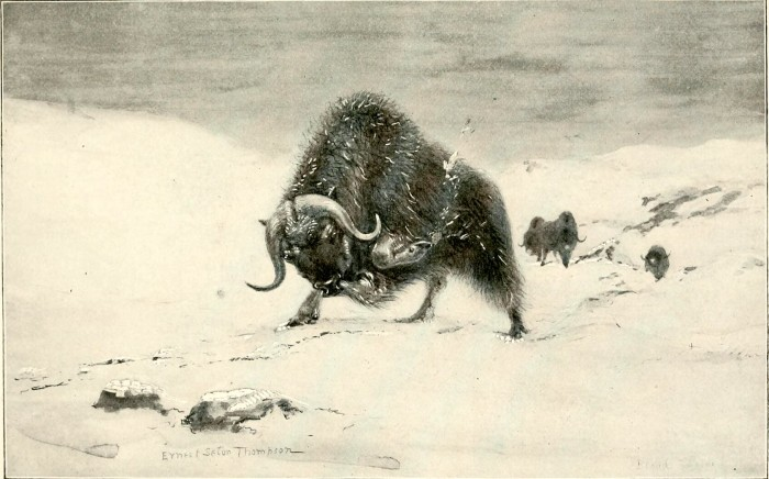musk ox illustration